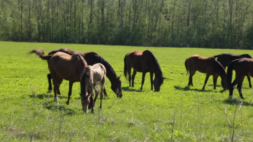 Many gray and brown horses slowly graze freely on the field along the forest on a summer sunny day    Shutterstock HD Video #1030215401