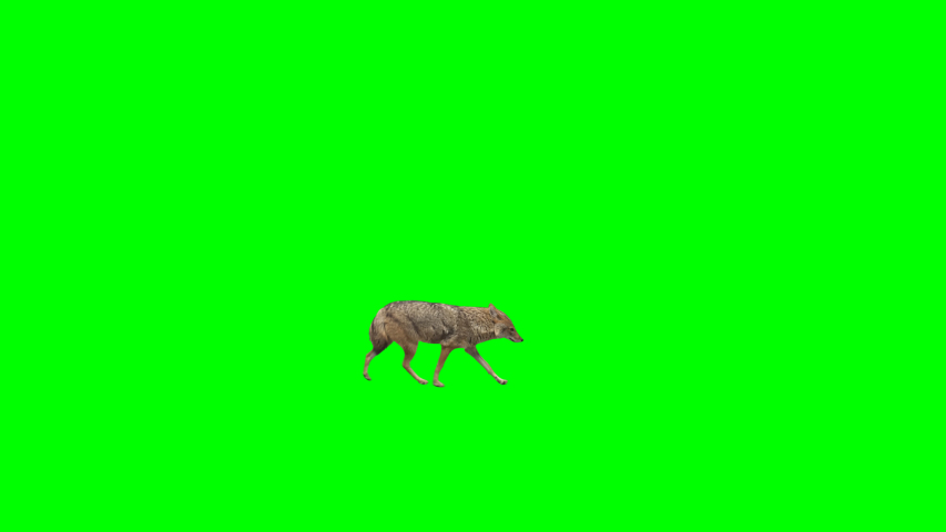 Golden jackal slowly walking across the frame on green screen, real shot, isolated with chroma key, perfect for digital composition, cinema, 3d mapping. | Shutterstock HD Video #1030260311