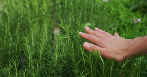 Slow motion of young woman gardener hand close up is touching gently fresh rosemary plants in a greenhouse in a sunny day.