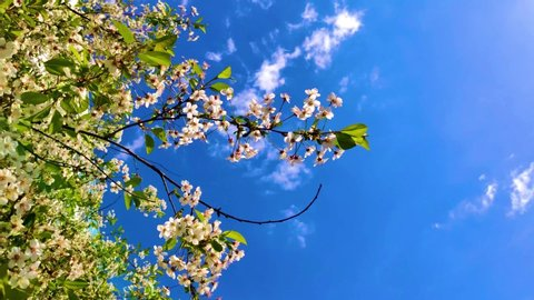 The branch of the Apple tree swings in the wind close-up. White Apple blossoms on the branches against the blue sky.