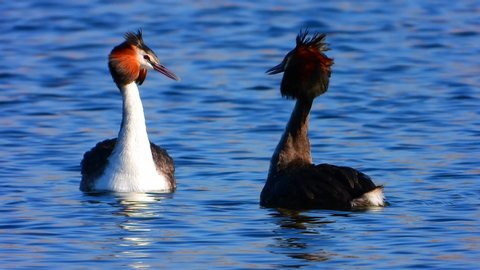 A couple of great grebe swim on the lake's surface in love courtships.  real wildlife. Great Crested Grebe.