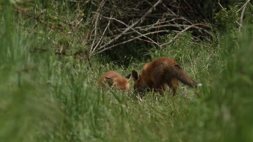 Cute wild Red Fox Cubs, Vulpes vulpes, feeding in the long grass at the entrance to their den. A few scuffles and play fighting breaks out.  | Shutterstock HD Video #1030694351