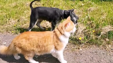 Red and white cat with black and silver miniature schnauzer dog walking on the road.