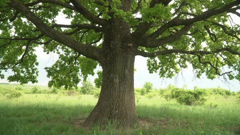 Lush oak crown inside.A lone oak in a field. Branches and oak leaves close-up.Green oak leaves on the branches.