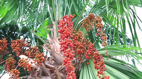 colorful orange palm seeds on palm tree in garden and green leaves moving