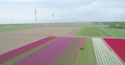 Drone shot of tractor cutting red tulips in colourful tulip farm in Holland the Netherlands with wind turbines in the background