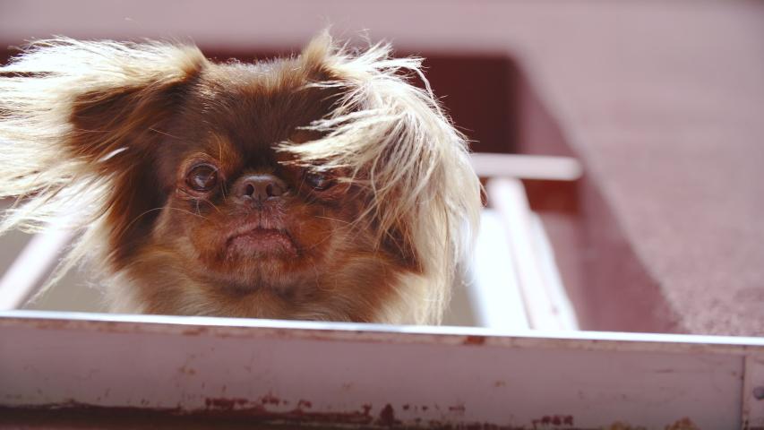 Pekingese dog look down from a balcony 4K | Shutterstock HD Video #1031108591