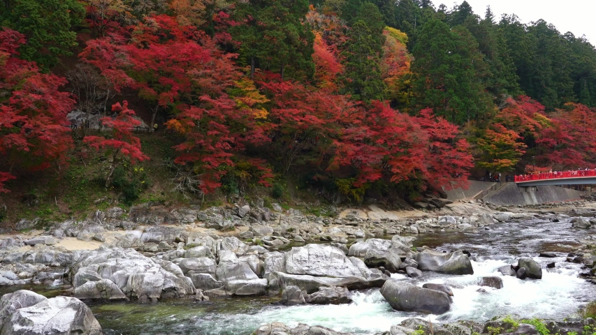 Crowd of tourists enjoy on waterfall and red bridge with red maple colorful fall foliage autumn leaf festival at Korankei valley, Aichi prefecture, Chubu Region in Japan. | Shutterstock HD Video #1031254121