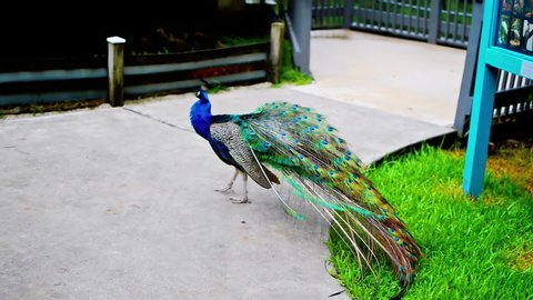 The Indian peacock's train, covering the tail feathers, is used in courtship and dominance displays.