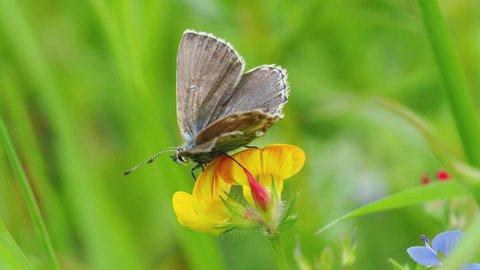 Female Adonis Blue Butterfly (Polyommatus bellargus)