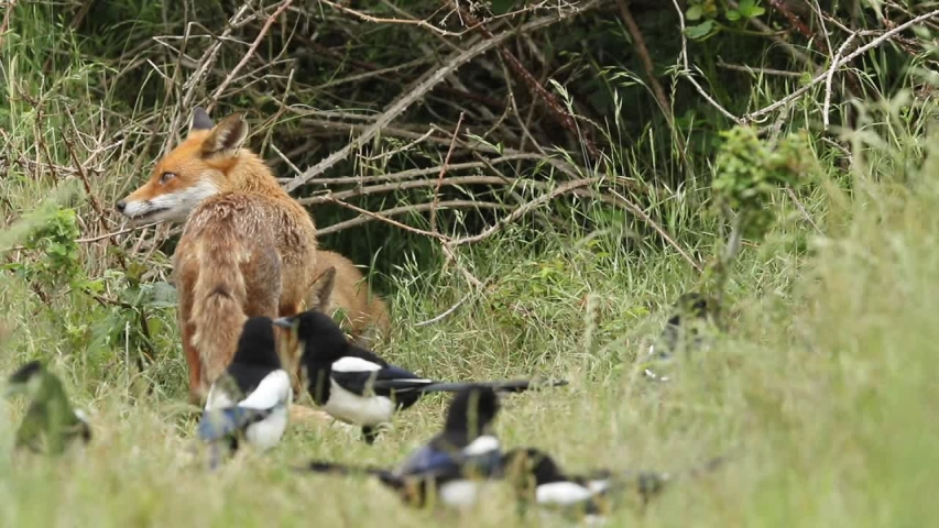 A vixen Red Fox, Vulpes vulpes, and her cute cubs, are feeding at the entrance to their den. A few scuffles break out with the cubs as they don't want to share the food. | Shutterstock HD Video #1032246851
