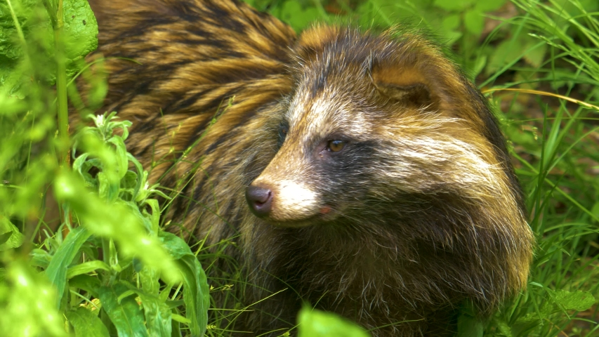 Mangut, or raccoon dog, is standing facing the camera, looking around and sniffing. It steps away to the left. | Shutterstock HD Video #1032281891
