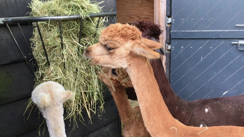 Young alpacas eating from a hay bale at a zoo | Shutterstock HD Video #1032626381