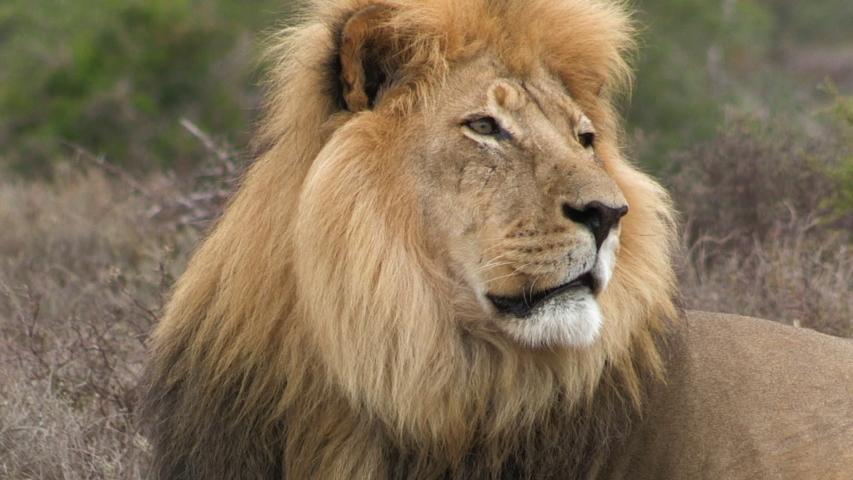 Male lion lying down in bush CU #1032831041