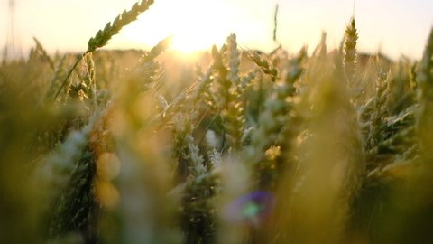Wheat field blowing by the wind. Slow motion. Sunset, with sunbeams into the camera.