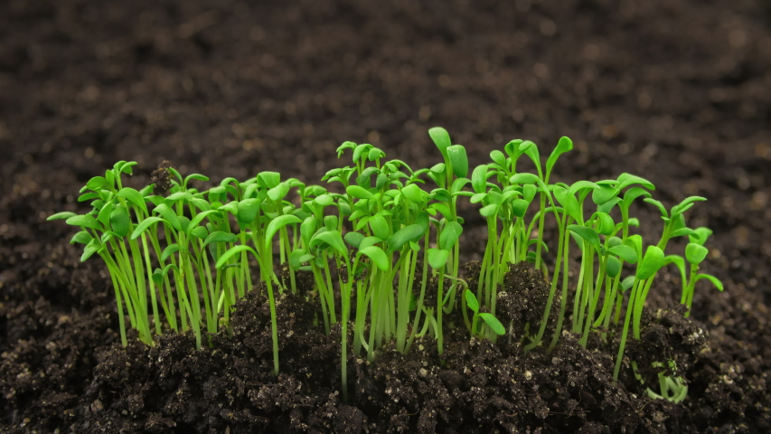 Growing plants in time lapse, sprouts germination newborn cress salad plant in greenhouse agriculture in rapid | Shutterstock HD Video #1033140911