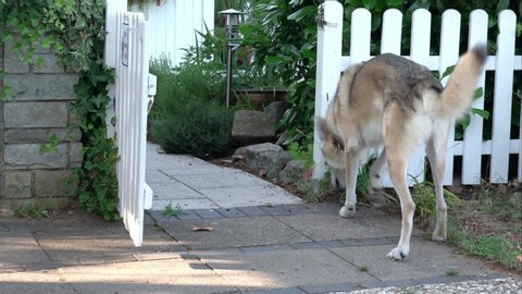 A dog pees against a garden fence, two takes