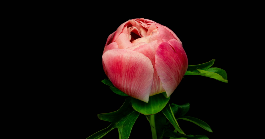 Timelapse of pink peony flower blooming on black background, | Shutterstock HD Video #1033215251