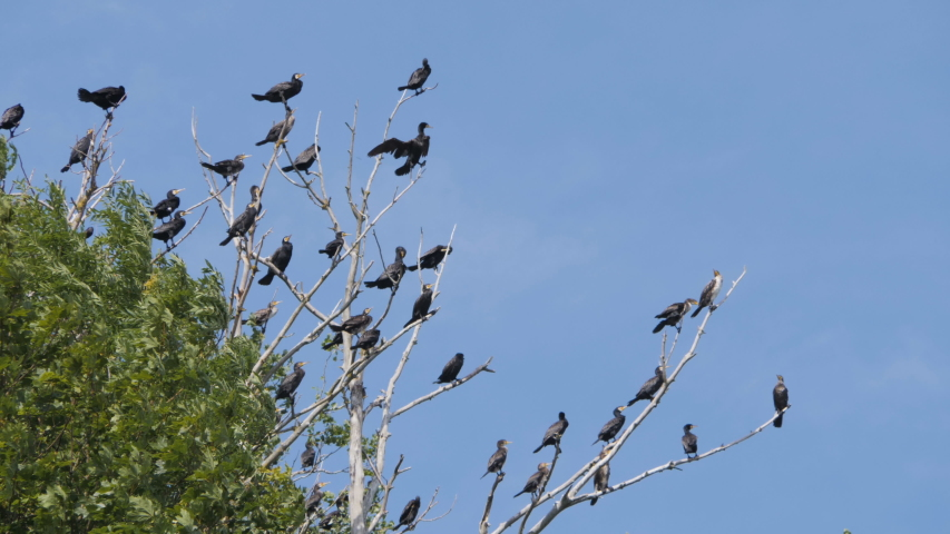 Many birds on the tree.. Slow motion. Birds Geese flying in formation, Blue sky background. Migrating Greater bird flying in Formation. Flock of Birds on branch. | Shutterstock HD Video #1033223261