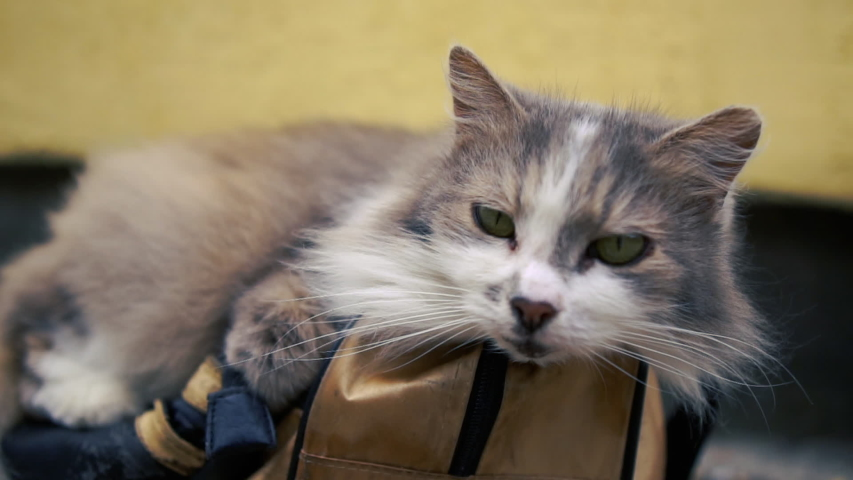 Lovely grey and white cat is lying on a blue bag indoors and feels good | Shutterstock HD Video #1033288061