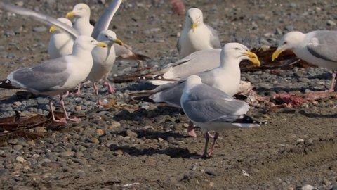 Flock of Herring Gulls (Larus smithonianus) eating fish scraps on the beach at Deep Creek State Recreational Area near Ninilchik, Alaska