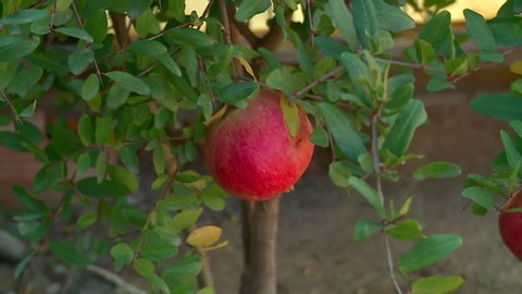 A beautiful red pomegranate on his tree