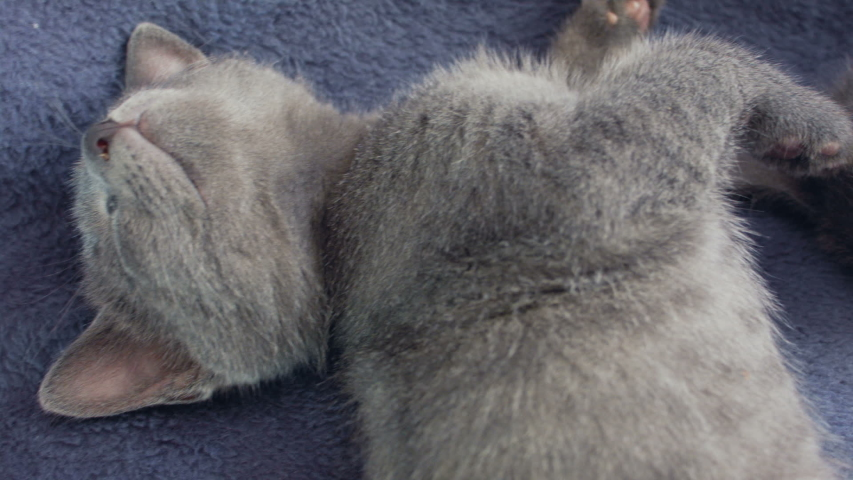 Close-up of a thoroughbred russian blue kittens on a blue background. Recorded on Blackmagic camera in Raw format.  | Shutterstock HD Video #1034008991