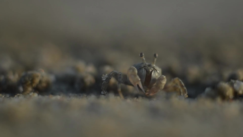 The Soldier crab is the crabs that eat the remains of plants and animals, then spit out the sand into small balls. at Laem Phak Bia, Gulf of Thailand, Phetchaburi, Thailand.  | Shutterstock HD Video #1034360951