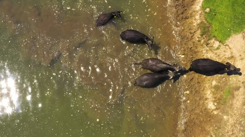 Buffalos come from the river to the shore. buffalo comes out of the lake. buffalo swimming. Aerial video. Top view. Greece. Kerkini Lake
