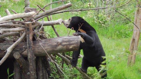 Malayan Bear / Sun Bear In Nature, Rare Endangered Species, 4K