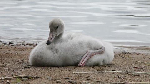 The young swan cleans feathers