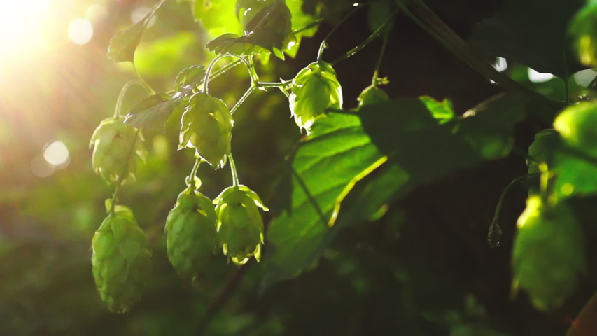 Green fresh hop cones for making beer and bread in backlight closeup | Shutterstock HD Video #1034845361