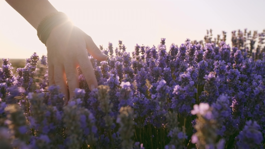 Slow motion view of a field of large bushes of lavender and lilac flowers. The hand of a young woman tenderly holds the lavender flowers the backdrop summer sunset. The sun's rays are purple plant | Shutterstock HD Video #1035208541