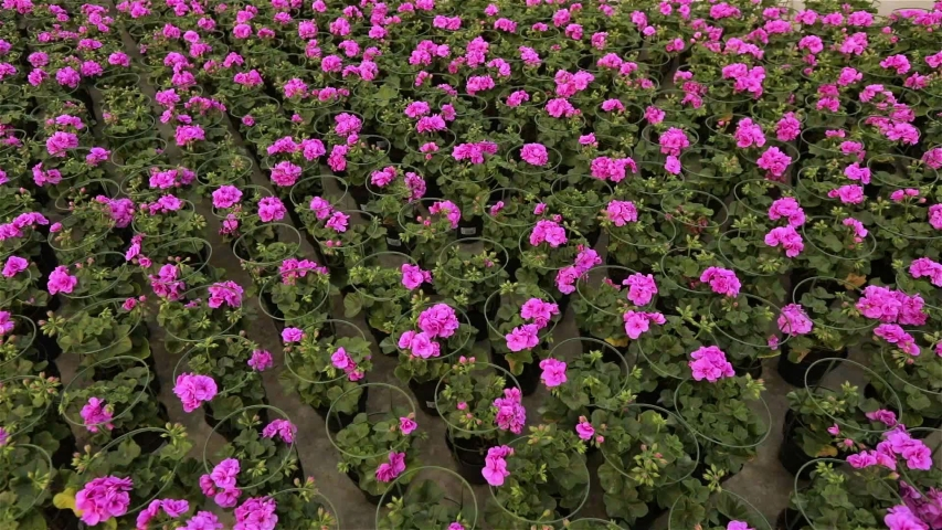 A large modern greenhouse with blooming flowers, A modern warm for growing flowers, many blooming flowers | Shutterstock HD Video #1035323921