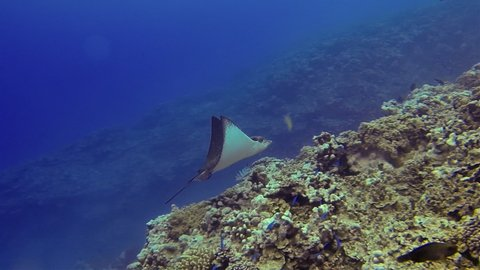 Eagle Ray Stingray Or White Spotted Sea Ray Swimming With Tropical Fish & Gliding On Coral Reef In Deep Blue Sea In The South Pacific Ocean Cook Islands Polynesia