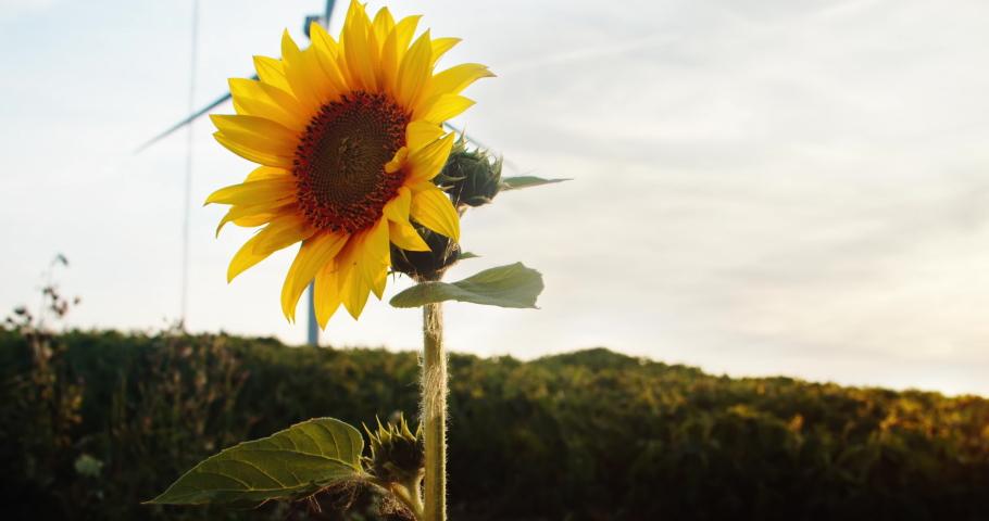 Close-up wonderful sunflower in green rural field at sunset. Alternative energy wind turbine spinning in background.   Shutterstock HD Video #1035557531