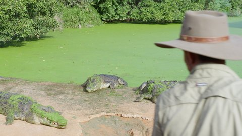 Outback crocodile hunter walks past saltwater crocodiles feeding on the bank of stagnant green pond. Outback salties in Australia. Slow Motion, Red Camera.