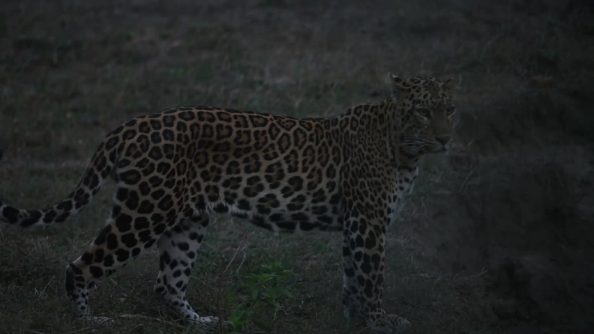 Twilight , The leopard waiting to ambush prey. At Huai Kha Khaeng Wildlife Sanctuary in Thailand. | Shutterstock HD Video #1036098311