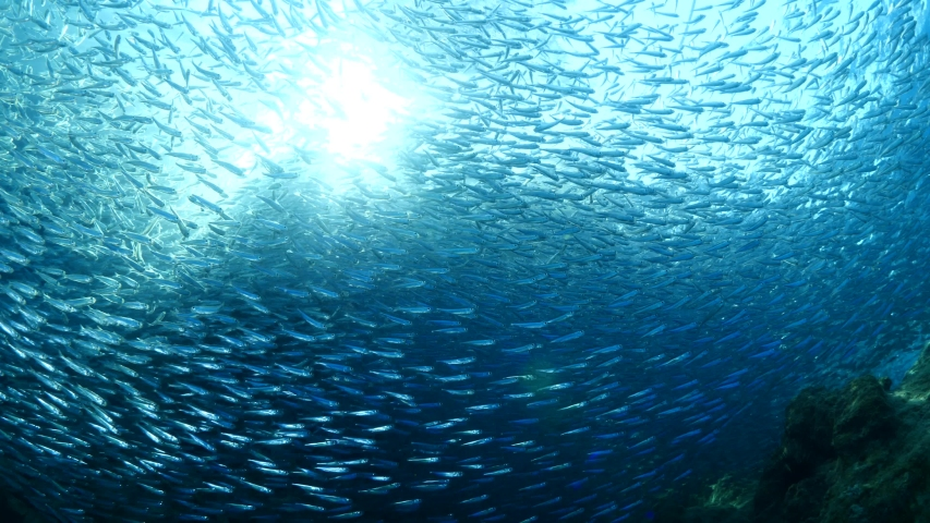 Silversides hiding behind secret rocks  under sun shine and beams underwater silverside fish school wavy sea protection   Shutterstock HD Video #1036248821