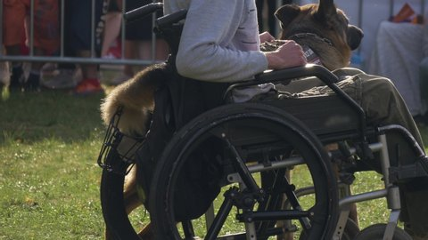 Disabled man with his service dog on a walk outdoors. Man in wheelchair and guide dog. shepherd breed