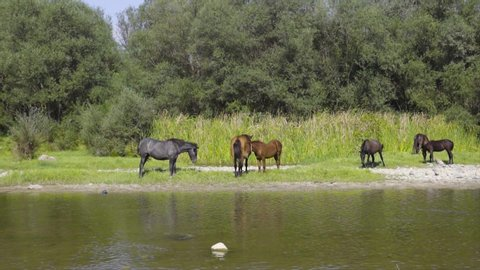 Group feral wild horses resting by the river in a beautiful green nature and water.