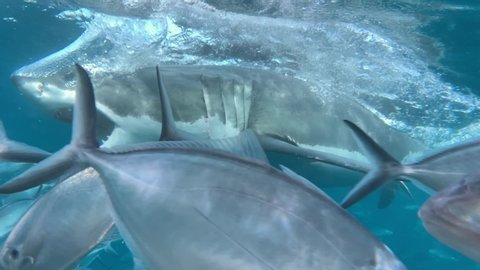 Reveal of a Great White Shark attacking some fish with mouth open. Slow motion. Cage diving
