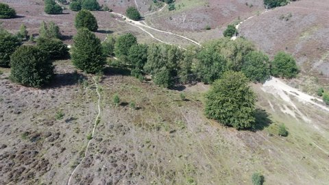 4k aerial video descending while pitching up, revealing hilly landscape with blossoming purple heath and trees in national park the Veluwe