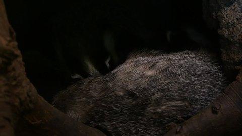 European badger (Meles meles) family sleeping in den / sett and juvenile leaving burrow in forest