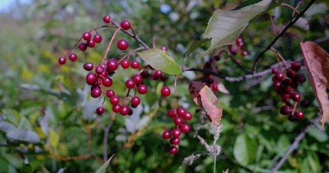 Amos, Québec/Canada 08-24-2019:  Wild fruits;  Virginia bird cherry (Prunus virginiana)  are appreciated by birds.