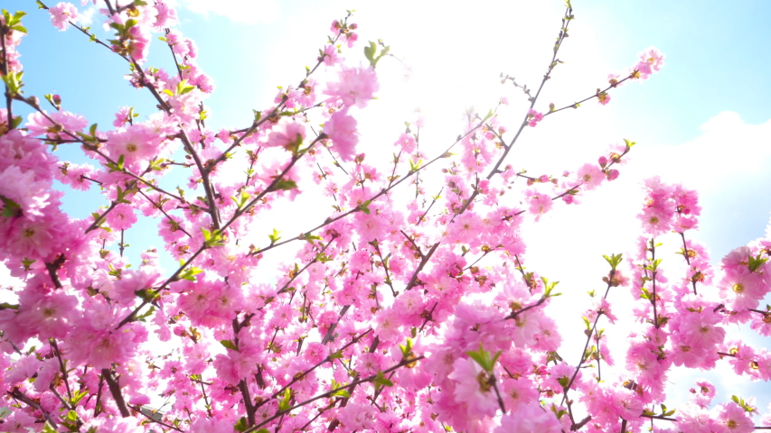Cherry blossom Sakura pink flower blooming against blue sky a during spring   Shutterstock HD Video #1036962731
