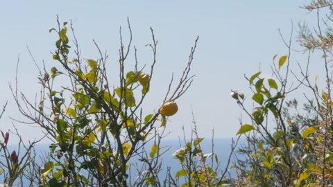 Bird Fly behind Lemon Tree, Slow motion.