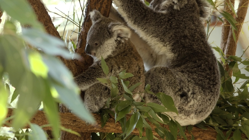 Cute Australian mother Koala with her joey in a tree resting during the day. | Shutterstock HD Video #1037172881