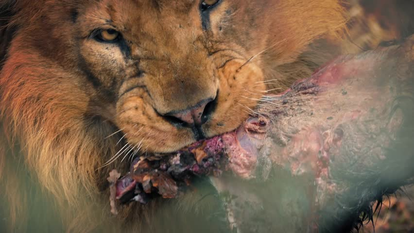 Big Male Lion Eating Dead Animal Meat