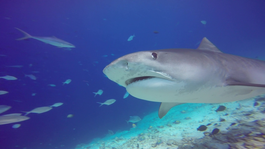 Fascinating scuba diving with tiger sharks. Maldives. #1037647511